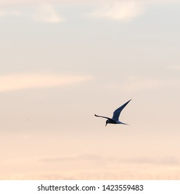 Common Tern, Sterna hirundo, in graceful flight by a colored sky by sunset