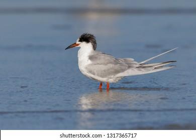 Common Tern (Sterna hirundo) molting from non-breeding to breeding plumage - Jekyll Island, Georgia