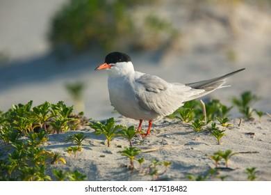 Common Tern, Sterna hirundo, on Beach
