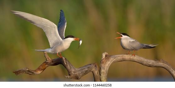 Common Tern ( Sterna hirundo ) - two adult  birds near the nest at the wetland