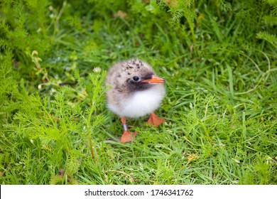 Common tern (sterna paradisaea) chick hiding in a grassy meadow, in the Scottish Natural Heritage Reserve Isle of May, East Coast of Scotland, UK