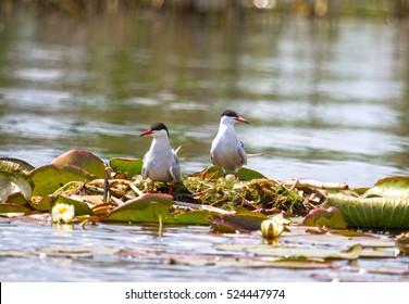 Common tern, Tataru Water canal, Danube delta, Sfantu Gheorghe, Romania