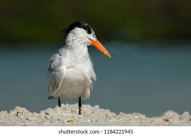 A common tern (Thalasseus maximus) with non-breeding plumage poses on a sandbar at Wiggins Pass, Florida, with a soft bokeh background of water and mangroves.