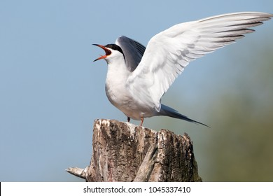 A common tern welcomes the morning sun