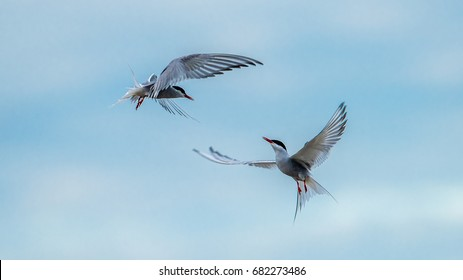 The common terns (Sterna hirundo) flies like dancing in the sky.