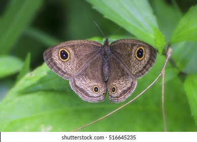 Common Three Ring (Ypthima pandocus corticaria), Beautiful Butterfly in a Garden