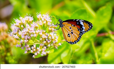 Common tiger butterfly and flower ,Thailand