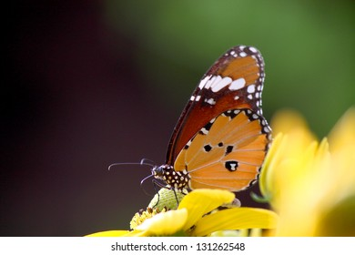 common tiger butterfly on yellow flower