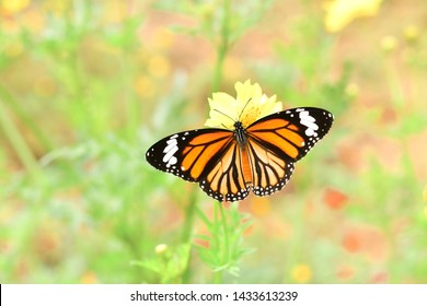 Common Tiger (Danaus genutia) the beautiful flying orange butterfly with nice stripes wings in natural.