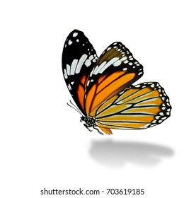 Common Tiger (Danaus genutia) beautiful flying orange stripe butterfly over soft shadow in natural color profile on white background