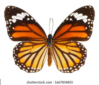 Common Tiger, Danaus genutia, butterfly isolated on white background.