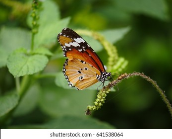 common tiger or monarch butterfly perched on small flower bud