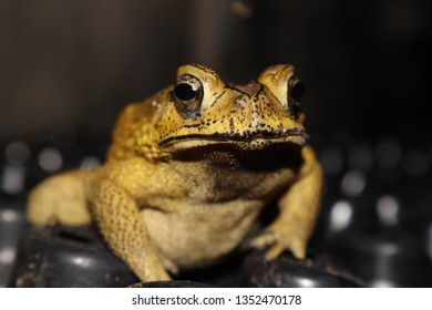 Common toad or asia toad,yellow toad,close up