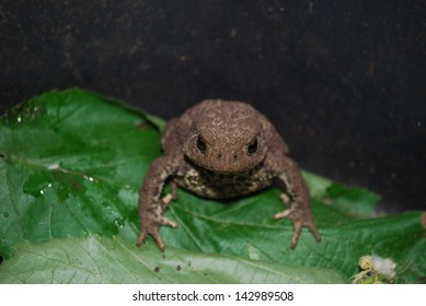 Common Toad (Bufo bufo), Berlin