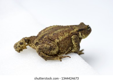Common Toad (Bufo bufo): an isolated Toad on a white background