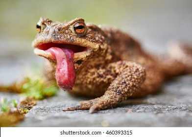Common toad (Bufo bufo) with lolled tongue