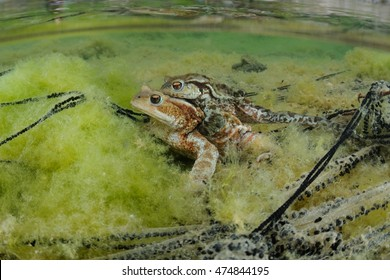 common toad (Bufo bufo) mating
