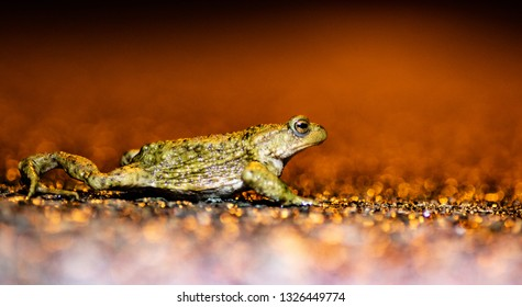 common toad (bufobufo) migration on the road in Belgium 2019 (dutch:paddentrek)