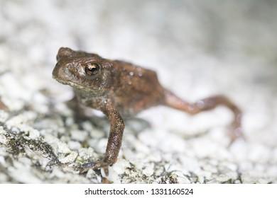 common toad (bufobufo) in nature in belgium migration (dutch:paddentrek)