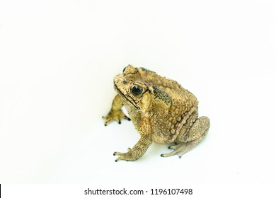 Common toad cockroach predator isolated on white background.