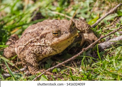 Common toad or European toad repose on green grass . Face portrait of large amphibian in the nature habitat