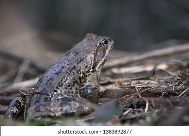 The common toad, European toad, or simply the toad (Bufo bufo) sitting in a mountain marsh