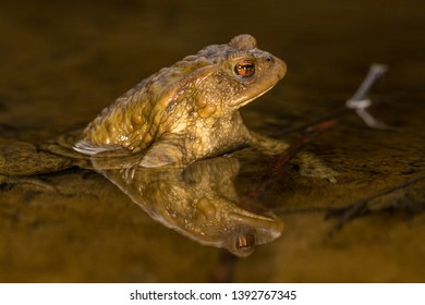 Common toad - European-toad - Bufo bufo - rospo comune in natural environment - wildlife