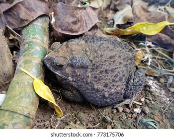 Common Toad isolated on the Ground