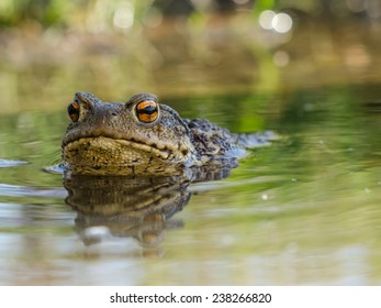 Common toad looking at me from a puddle