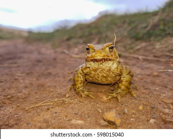 Common Toad on a path travelling to mating ponds.