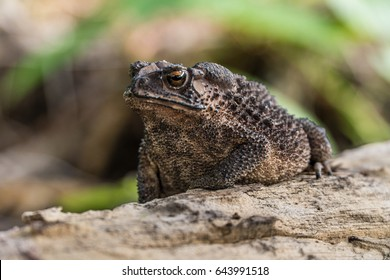 Common Toad on timber,asian toad brown,Common Toad (Bufo Bufo),poison animal amphibian