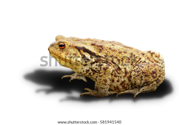 common toad on white background with shadow ( Bufo, adult wild animal )