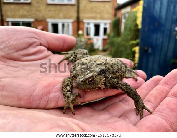 Common toad sitting in hands