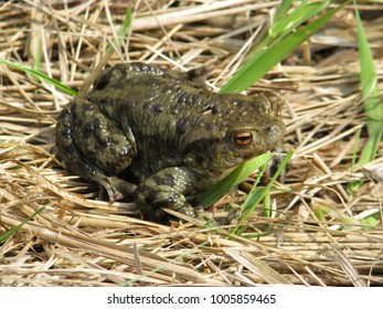 common toad at spring during mating