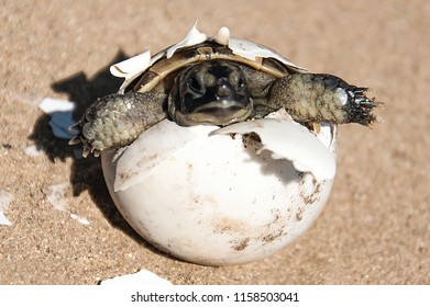 common tortoise baby is hatching from egg on sand, baby tortoise is hatching from egg on sand, turtle baby is hatching from egg on sand, baby turtle is hatching  from egg on sand