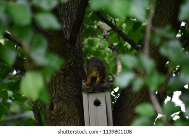 Common tree squirrel looting a bird house.