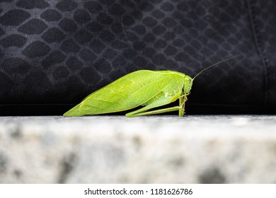Common True Katydid, Pterophylla camellifolia, in the family Tettigoniidae and in the order Orthoptera, resting in Haslett, Michigan, USA