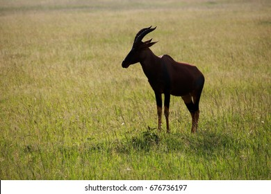 Common tsessebe waiting in the meadow, Kenya