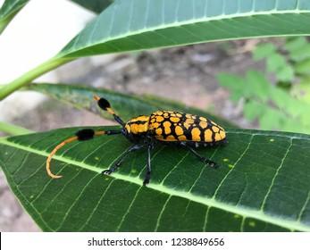 common turf-bearing longhorn on green leaf, yellow black bug, yellow black beetle, yellow spot beetle, yellow spot bug, longhorn bug, longhorn beetle
