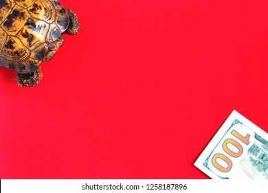 Common turtle on a red background. Concept of slow progress of financial flows. Hundred Dollar Bill. Earnings on drains from beginners.