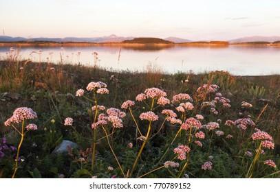 Common valerian flowering in Helgeland, Norway.