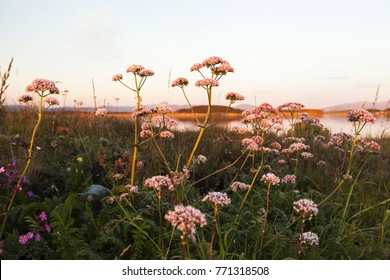 Common valerian flowering at remote island at Helgeland archipelago, Norway.
