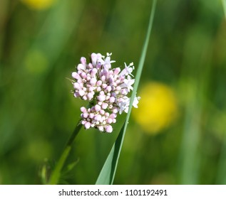 Common Valerian (Valeriana officinalis) flower blooming in spring