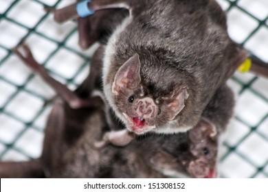 Common vampire bat (Desmodus rotundus) in a zoo