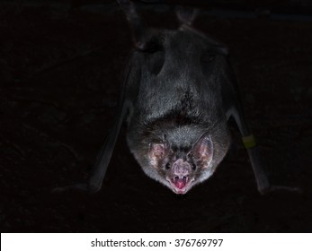 Common vampire bat (Desmodus rotundus) is hanging in the dark