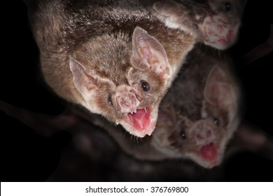 Common vampire bats (Desmodus rotundus) with black background