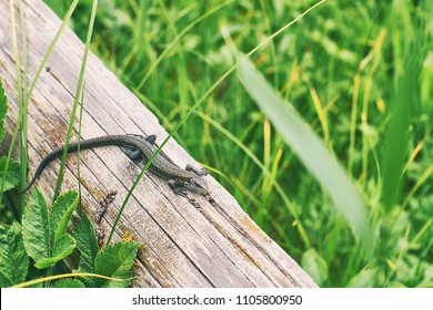 Common or viviparous lizard, zootoca vivipara basking on an old wooden log in fresh green grass
