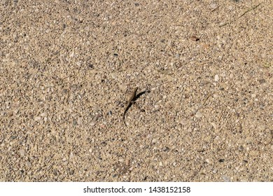 Common wall lizard mimicry (Podarcis muralis) on the ground - Image