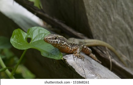 The common wall lizard Podarcis muralis, juvenile specimen