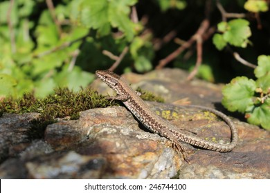 A common wall lizard (podarcis muralis) basking in the sun. These lizards are also known as European wall lizard and can grow to about 20 cm (7.9 in) in total length.
